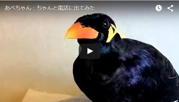 九官鳥_あべちゃん_画像