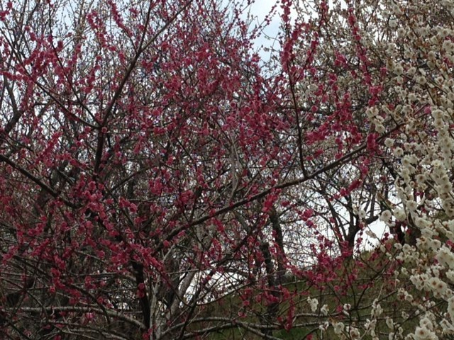 木下沢梅林_梅の木1