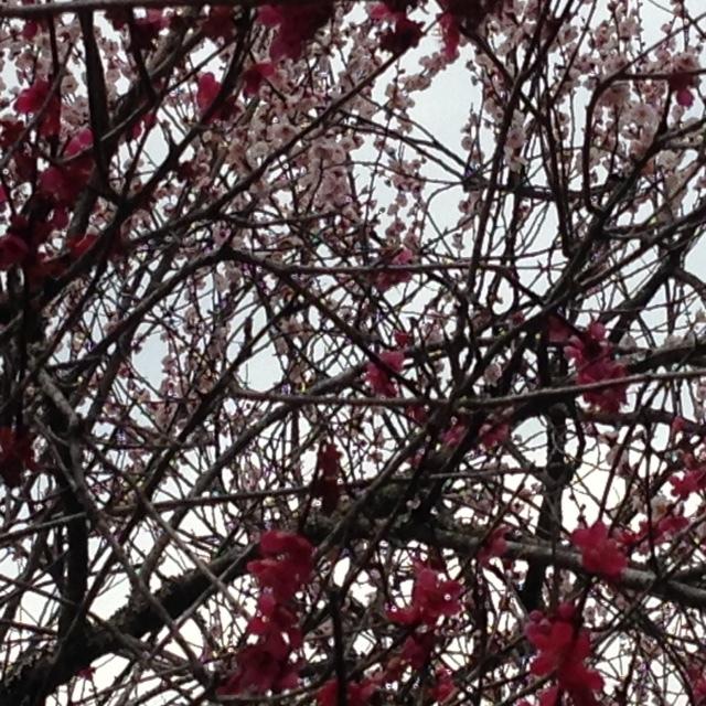 木下沢梅林_梅の木10