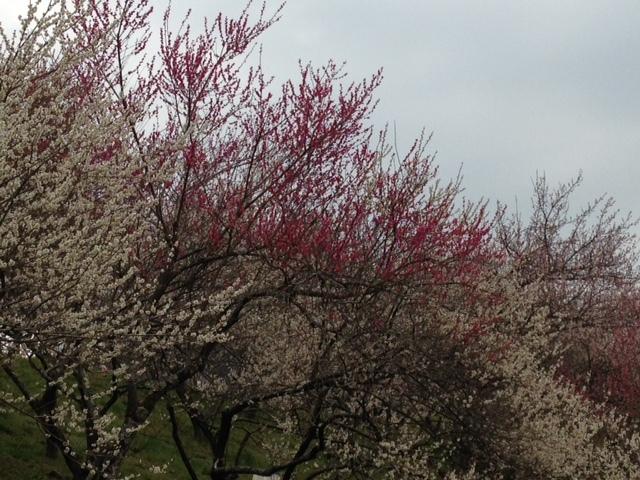 木下沢梅林_梅の木8